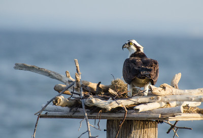 OSPREY on the CHESAPEAKE