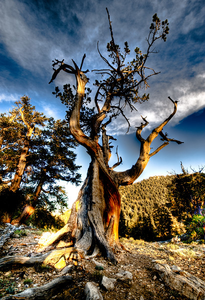 BRISTLECONE PINE IN HDR