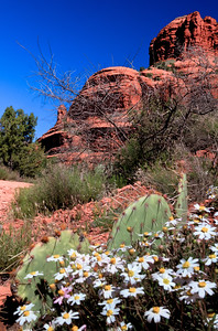 BELL ROCK DAISIES