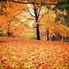 <h2>Central Park - Autumn Trees and Leaves - New York City </h2> - By Vivienne Gucwa<br><br>  All I can think about at this point is anything and everything that has to do with autumn: piles of leaves to jump in, hot apple cider with cinnamon sticks, pumpkin in just about everything, cute scarves and socks, ducking into cozy places to warm up briefly before heading back out to enjoy the kiss of brisk autumn breezes.<br><br>  Summer, we can always fall in love again next year.<br><br>  For now, I have a huge crush on autumn.<br><br>  ---<br><br>