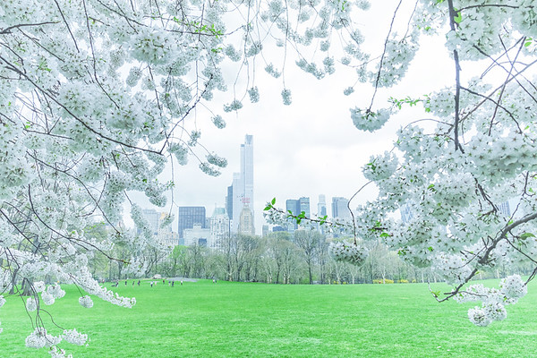 New York City - Central Park White Cherry Blossoms
