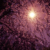 <h2>A New Day - Sun Through Cherry Blossoms - New York City</h2> - By Vivienne Gucwa   Through the sky's shadowed embrace, the sun pulls back the curtain of night.  And the earth basking in night's afterglow stirs slowly under the sun's radiance as each tree awakens to the promise a new day.  ---