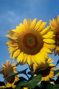 """""""Sunny Days"""" On the Kansas plains, beauty is in the eye of the beholder."""