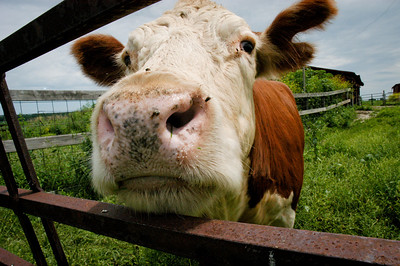 """""""Nosy"""" This curious cow was the last Hereford on my family's farm."""