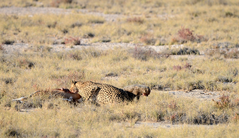 Cheetah and cub having lunch...