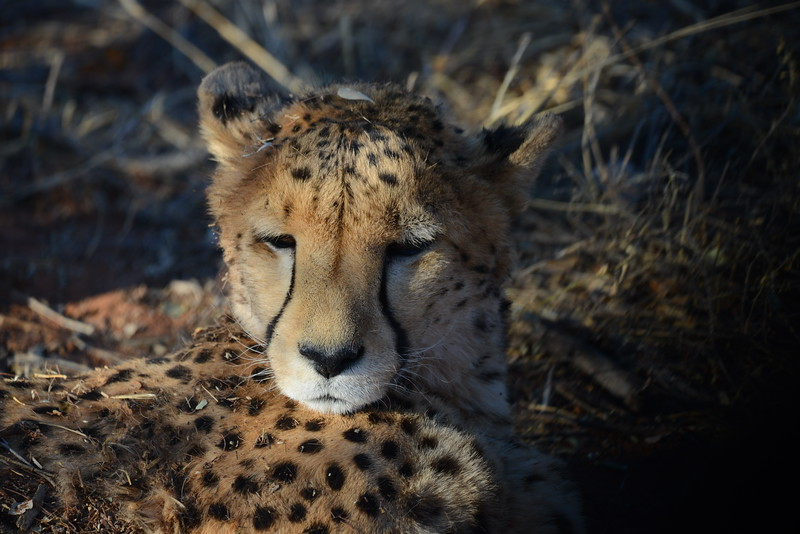 Cheetah at the Africat foundation