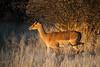 Nam 118 Impala, Erindi Game Reserve, Namibia