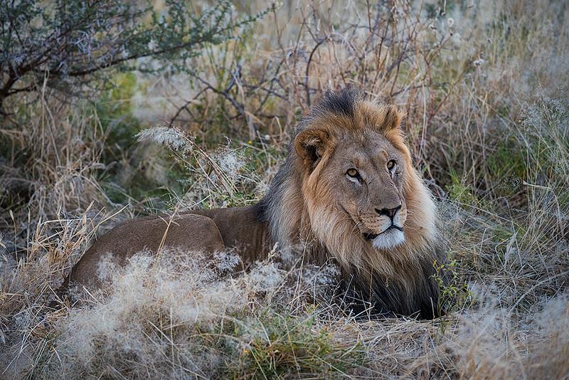 Nam 114 Lion, Erindi Game Reserve, Namibia