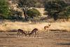 Nam 145 Impala, Erindi Game Reserve, Namibia