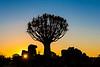 Nam 002 Quiver Tree  Sunset, Namibia