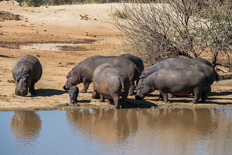 Nam 160 Hippos, Erindi Game Reserve, Namibia