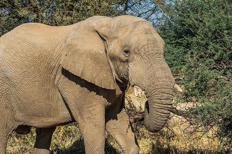Nam 155 Elephant, Erindi Game Reserve, Namibia