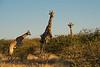 Nam 130 Giraffes, Erindi Game Reserve, Namibia