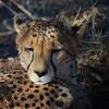 Cheetah at the Africat foundation