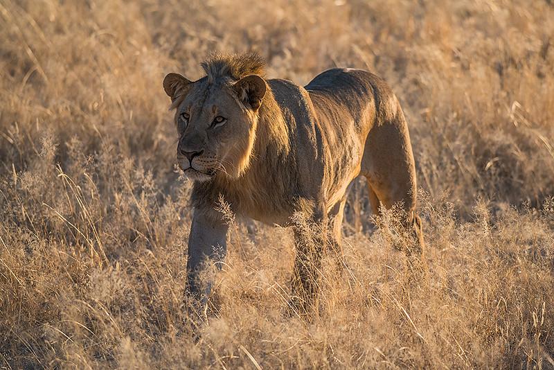 Nam 144 Lion, Erindi Game Reserve, Namibia