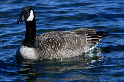 Canada Goose in Departure Bay