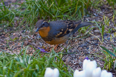 Varied Thrush (male) in Cobblehill