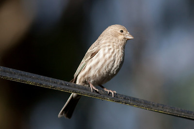 House Finch (yellowish male) in Cobblehill