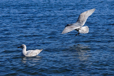 Glaucous Gull  at Departure Bay