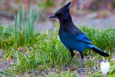 One of  two Steller's Jay's
