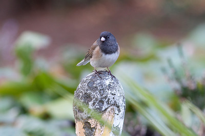 Dark Eyed Junco in Cobblehill BC