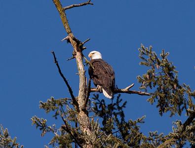 Eagle in Cedar