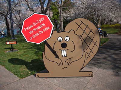 Paddles the Beaver Asking People Not to Pick the Cherry Blossoms  It was March 17, and spring hadn't officially arrived yet, but warm weather has caused cherry tree blossoms to mature much more rapidly than usual around the tidal basin.