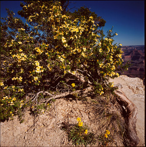 Dogweed, Grand Canyon NP