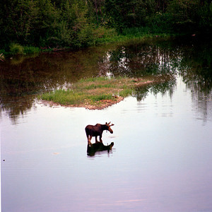 Moose feeding, Grand Teton NP