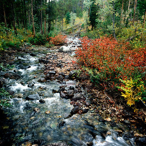 Fall Color along Stream, Grand Teton NP