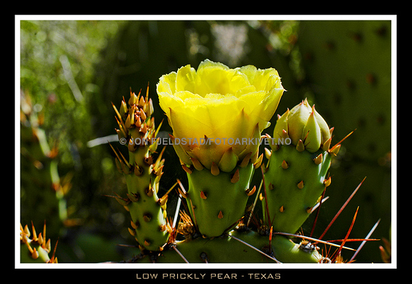 LOW PRICKLY PEAR CACTI - TEXAS