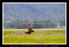 BULL ELK - YELLOWSTONE NATIONAL PARK - WYOMING