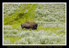 BISON - YELLOWSTONE NATIONAL PARK - WYOMING