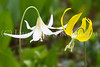 """""""White and Yellow Glacier Lilies"""""""