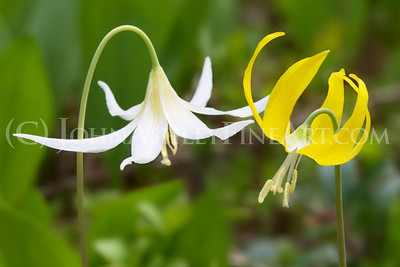 """White and Yellow Glacier Lilies"""