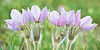 """Pasqueflower Quintet."""
