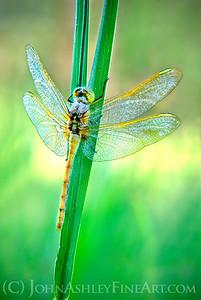 """""""Dragonfly Dew."""""""