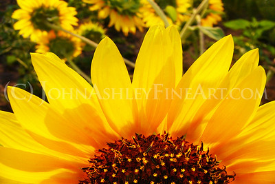 """Sunflower Sunrise."""