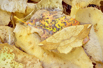 """""""Leaf Moth"""""""