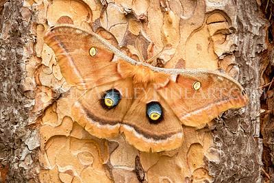 """""""Polyphemus Moth"""""""