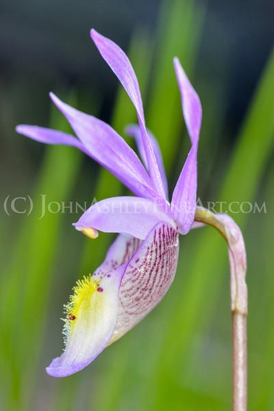 Calypso Orchid