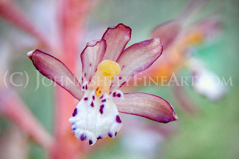 """""""Spotted Coralroot."""""""