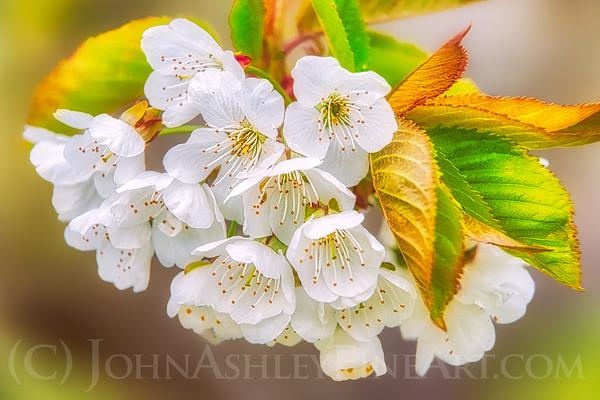 """Flathead Cherry Blossoms"""