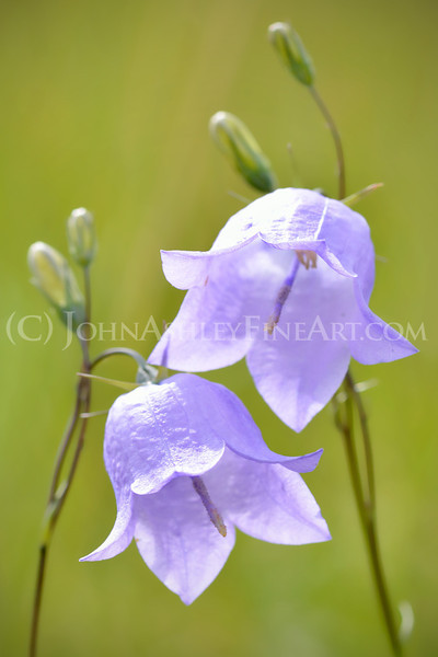 """A Pair of Harebells."""