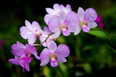 Barbados:  Orchids