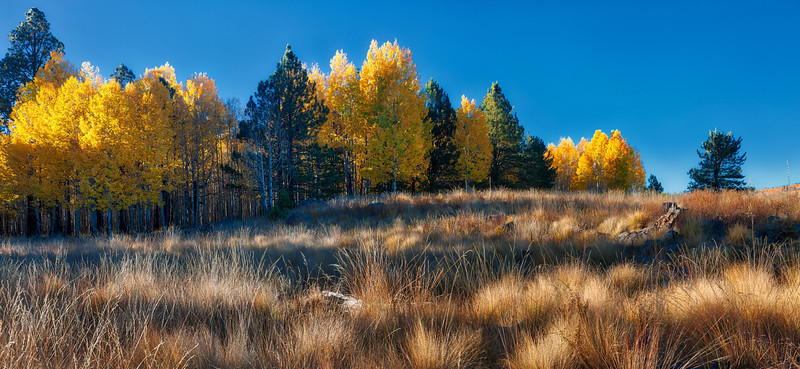 Quaking aspens, winter grass and contrasting pinetrees. AZ