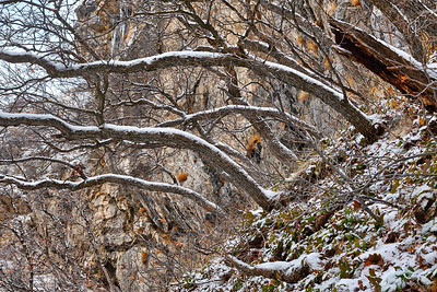 Snowy Oak Trunks Sway to the Light