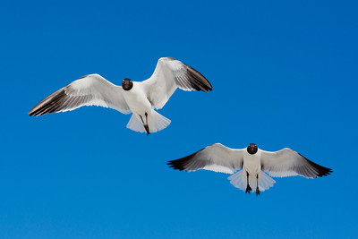 Two Seagulls in Anna Maria