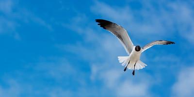 Seagull in Anna Maria