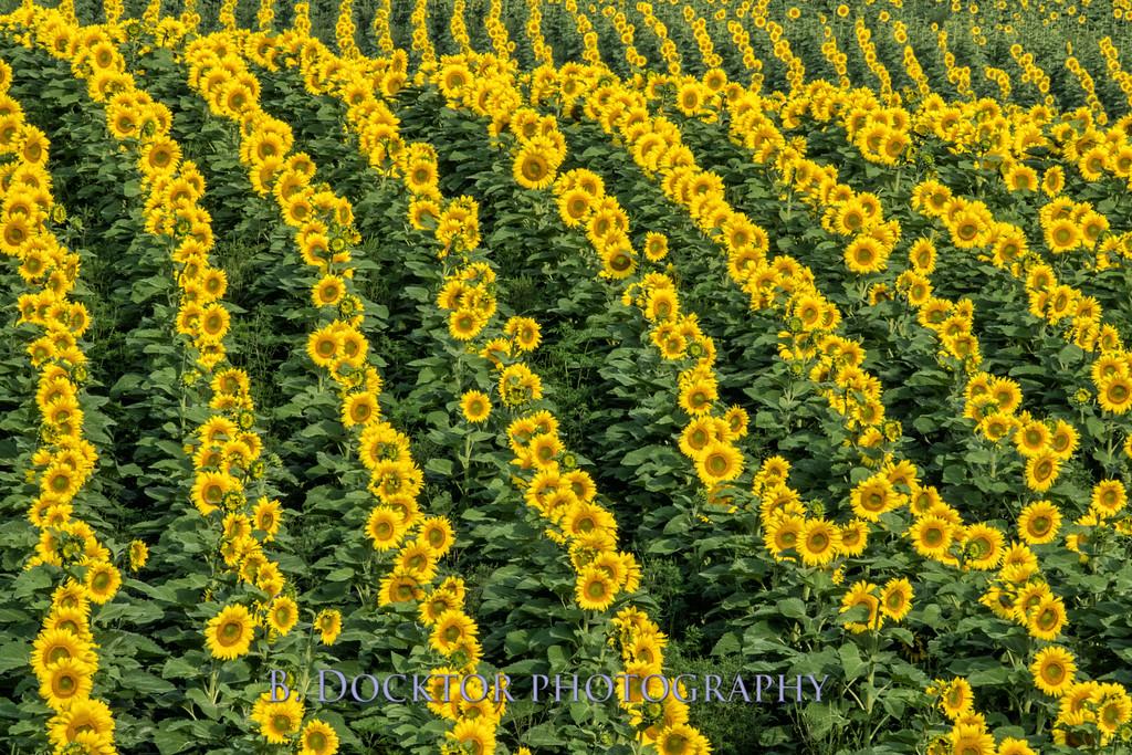 1408_Coach Farm sunflowers rt 7 _069